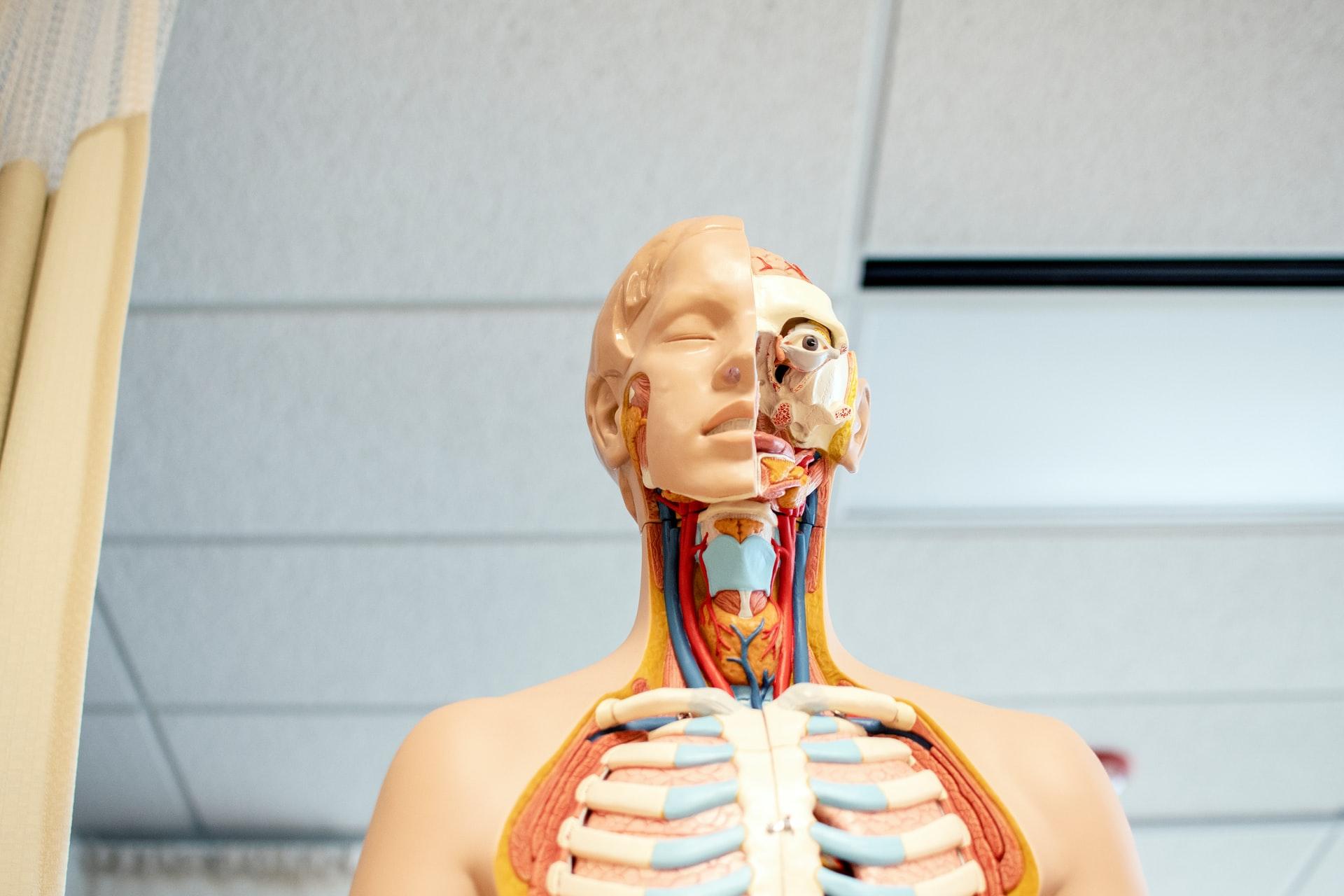 anatomiczny model budowy człowieka