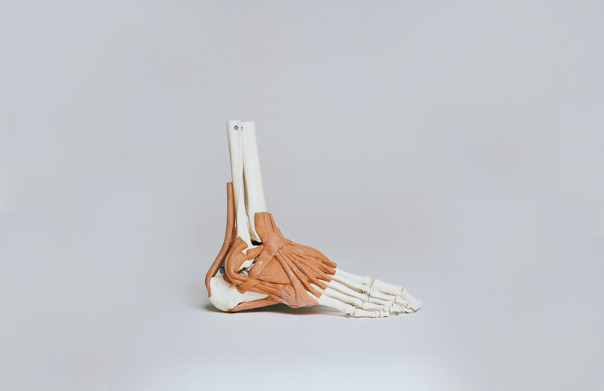 anatomiczny model szkieletu stopy