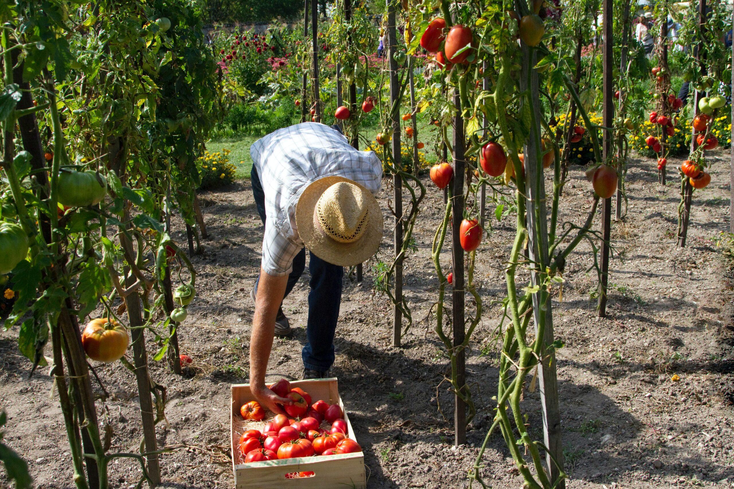 rolnik zbierający plony z posadzonych pomidorów