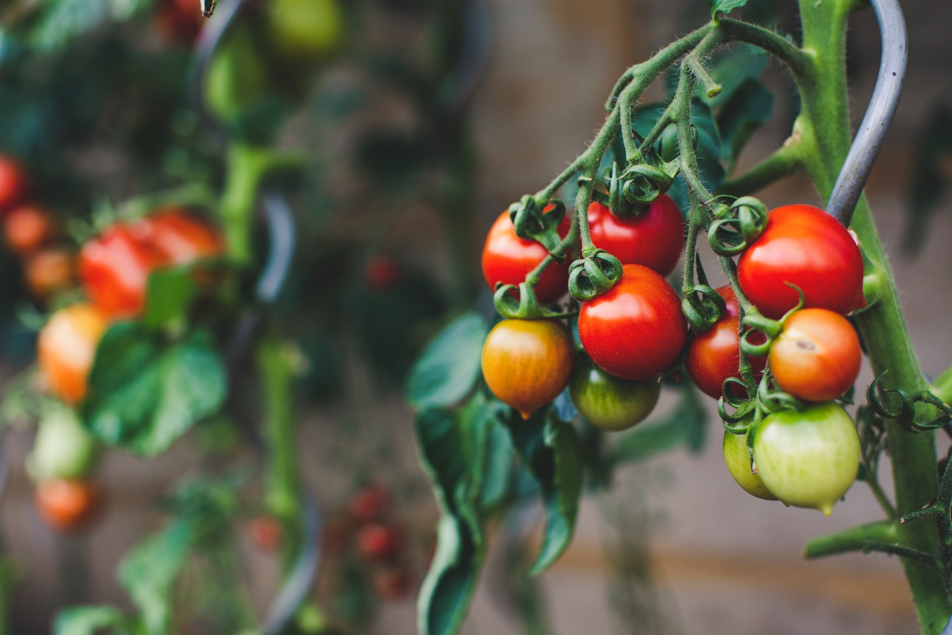 gałązka dojrzewających pomidorów